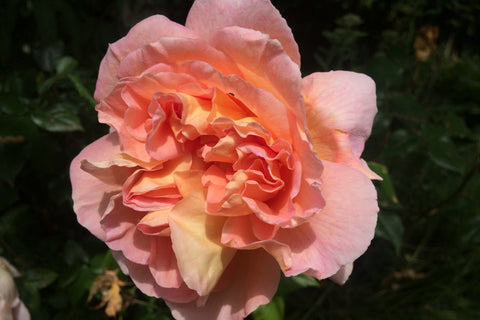 Rosa Abraham Darby = 'Auscot' (S)