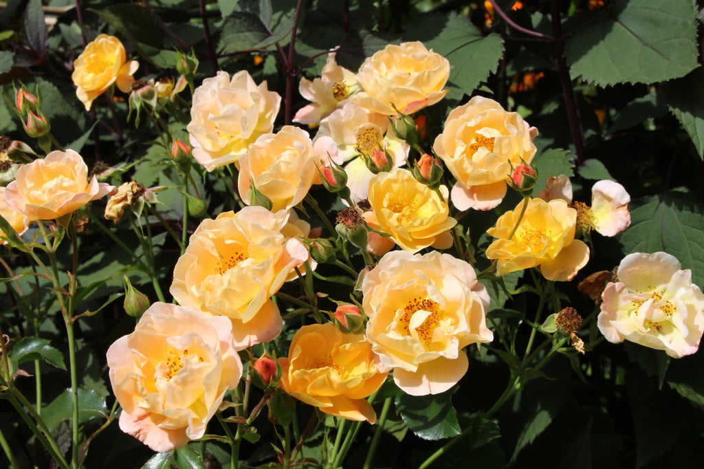 Rosa Flower Carpet Amber = 'Noa97400a' (GC)