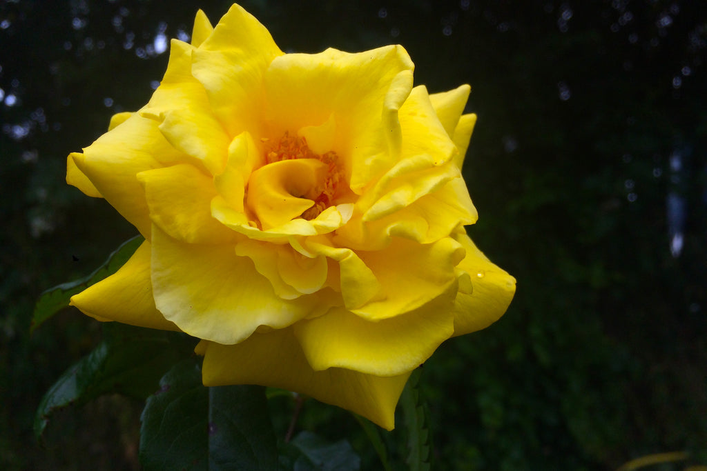 Rosa Golden Wedding = 'Arokris' (F)