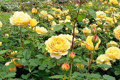 Rosa Golden Celebration = 'Ausgold' (S)