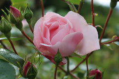 Rosa 'New Dawn' (Cl)