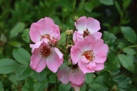 Rosa Sweet Haze = 'Tan97274' (F)
