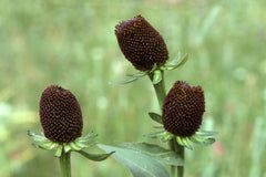 Rudbeckia occidentalis