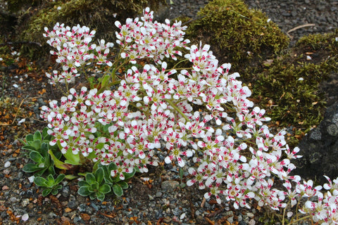 Saxifraga (Southside Seedling Group) 'Southside Star' (8)