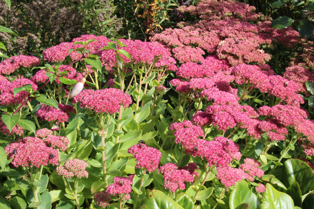 sedum herbstfreude group 39 herbstfreude 39 syn autumn joy ballyrobert gardens. Black Bedroom Furniture Sets. Home Design Ideas