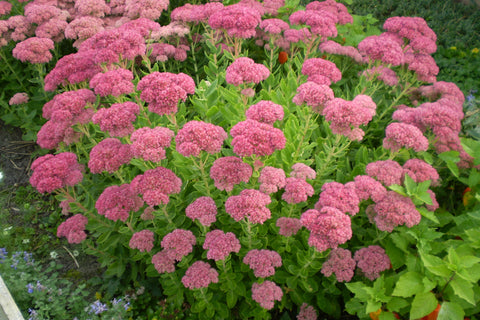 Sedum spectabile (Brilliant Group) 'Brilliant'