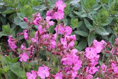 Silene dioica 'Rollie's Favorite'