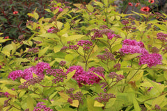 Spiraea japonica Golden Princess = 'Lisp'
