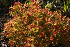 Spiraea japonica [Magic Carpet] = 'Walbuma' (v)