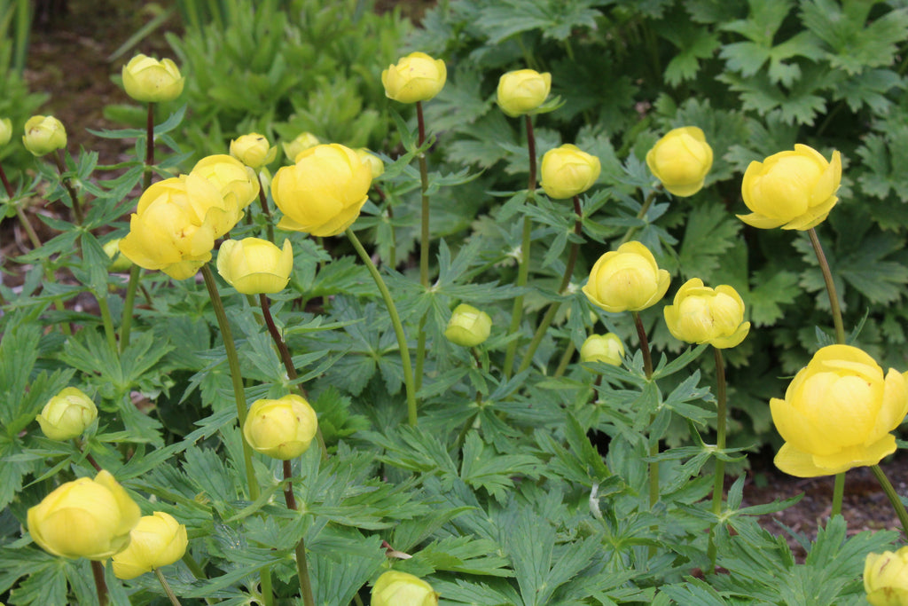 Trollius x cultorum 'T. Smith'
