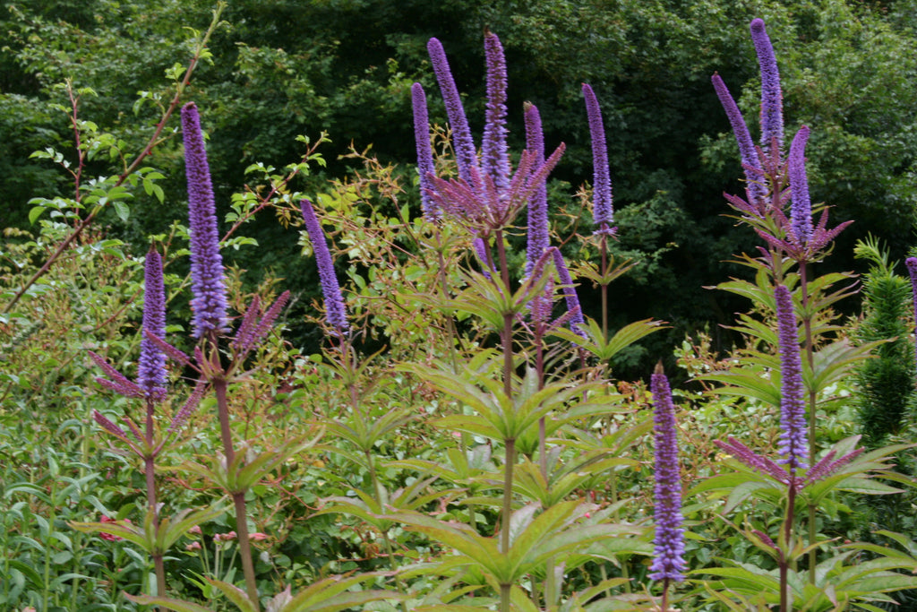 Veronicastrum 'Red Arrows'