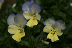 Viola 'Blue Moonlight' (C)