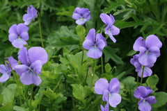 Viola 'Eastgrove Blue Scented' (C)