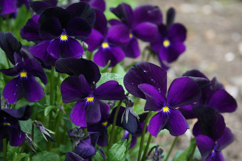 Viola 'Roscastle Black'