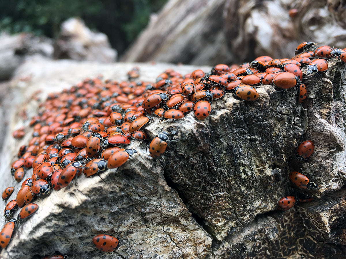 red-box-lady-bugs-gabrielino-trail-chantry-flat-arroyo-seco-trvrs-apparel