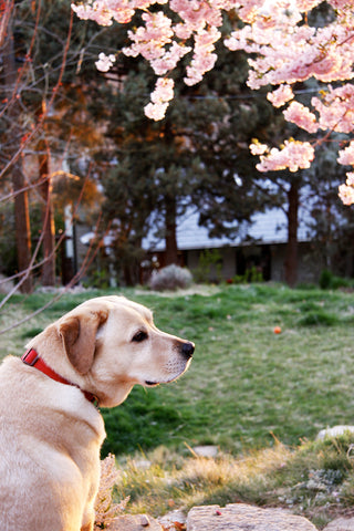 Fender the yellow lab under cherry blossoms