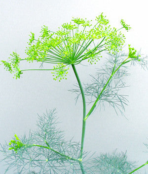 "Dill (Mammoth Bouquet) - Living Flat (Uncut) Fills 8""x8"" Container"