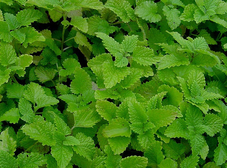 Lemon Balm (Moldavian Dragonhead) - Individual Cut and Prepped Portion