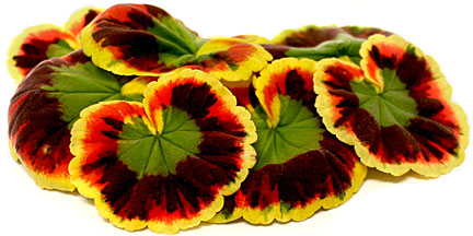Sunset Geranium Leaves - Individual Cut and Prepped Portion