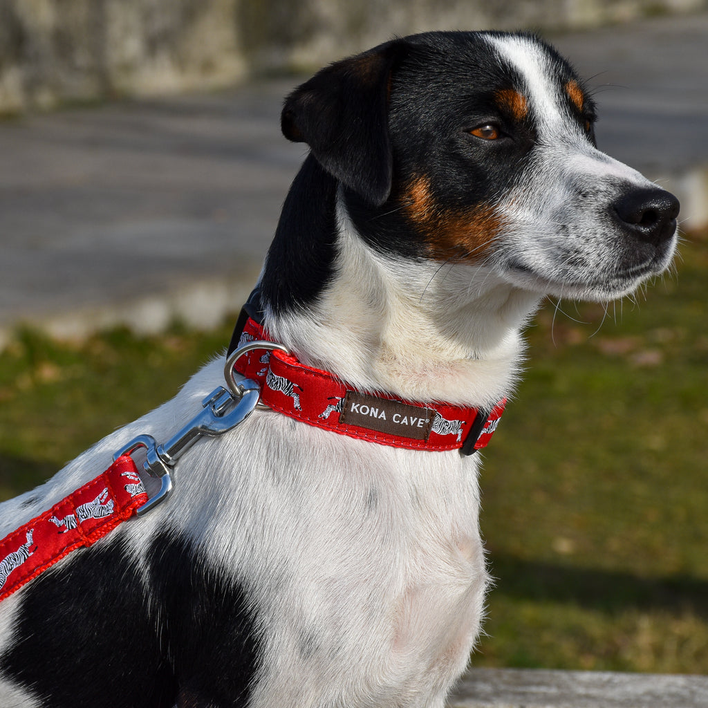 KONA CAVE® Urban Zebra on Red Collar and Leash with Sliding Hook on Tri-Color Jack Russell Terrier Dog