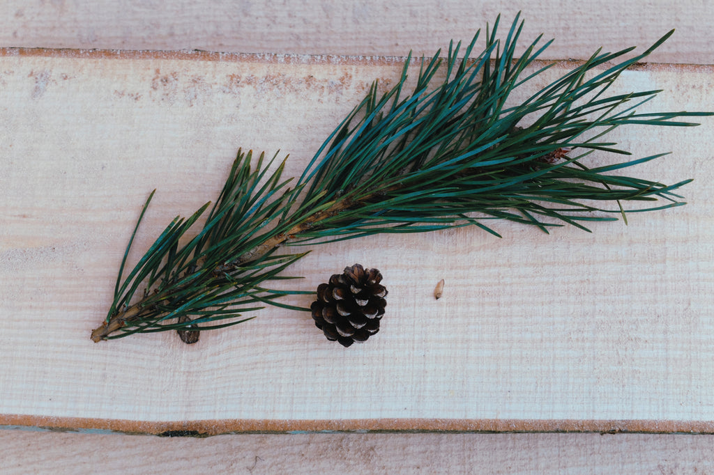 Scots Pine Needles, Cone and Winged Seed