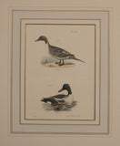 The Pintail Duck (Northern Pintail), The Shoveller or Spoonbill (The Northern Shoveler)