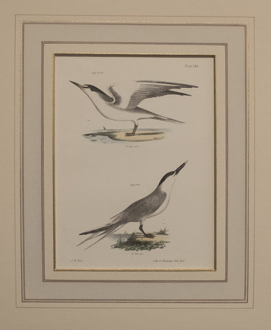 The Silvery Tern, The Sandwich Tern