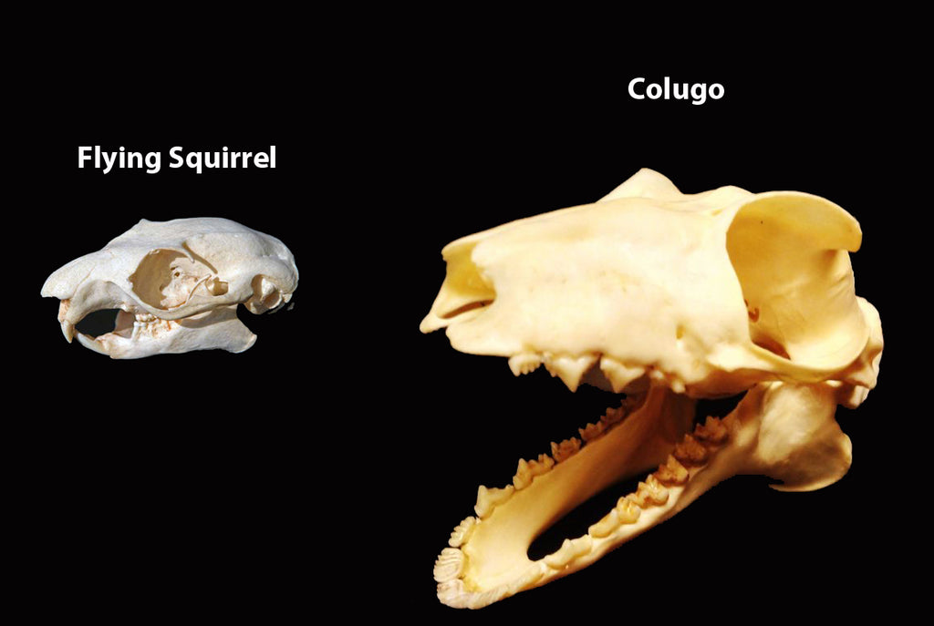 Colugo and Flying Squirrel Skull