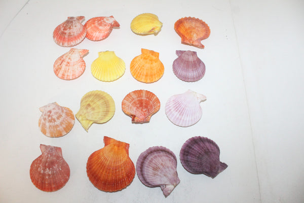 16 Noble Pecten shells  106  whole shells over 2.5""
