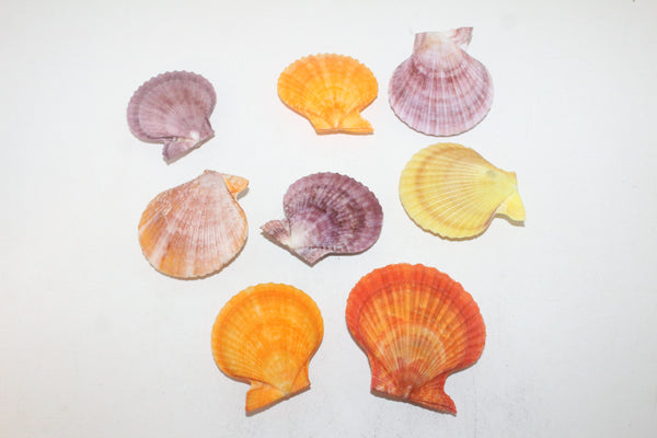 8 Noble Pecten shells  506  whole shells over 2.5""
