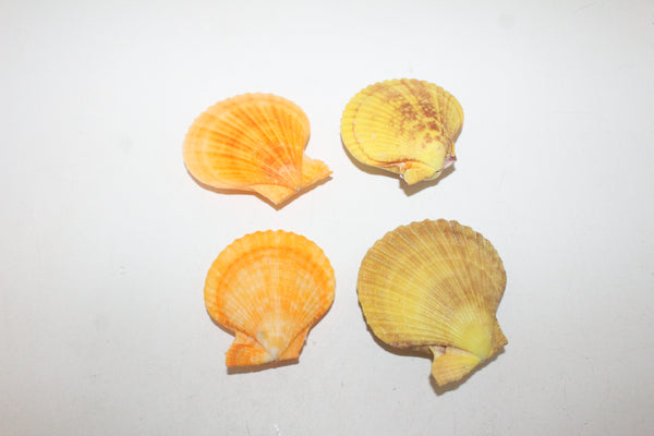 4 Noble Pecten shells  406  whole shells over 2.5""