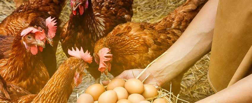 rearing-chickens-for-eggs
