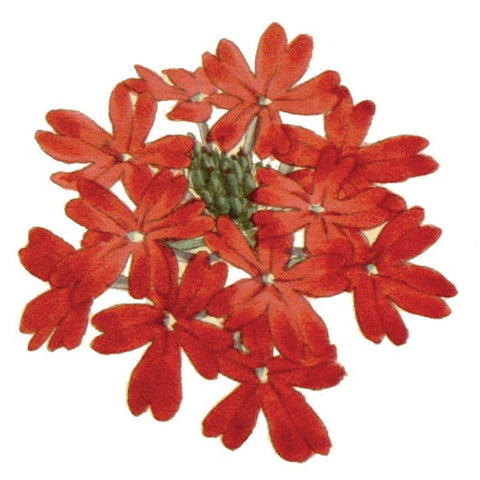 Pelargonium - Set of 2