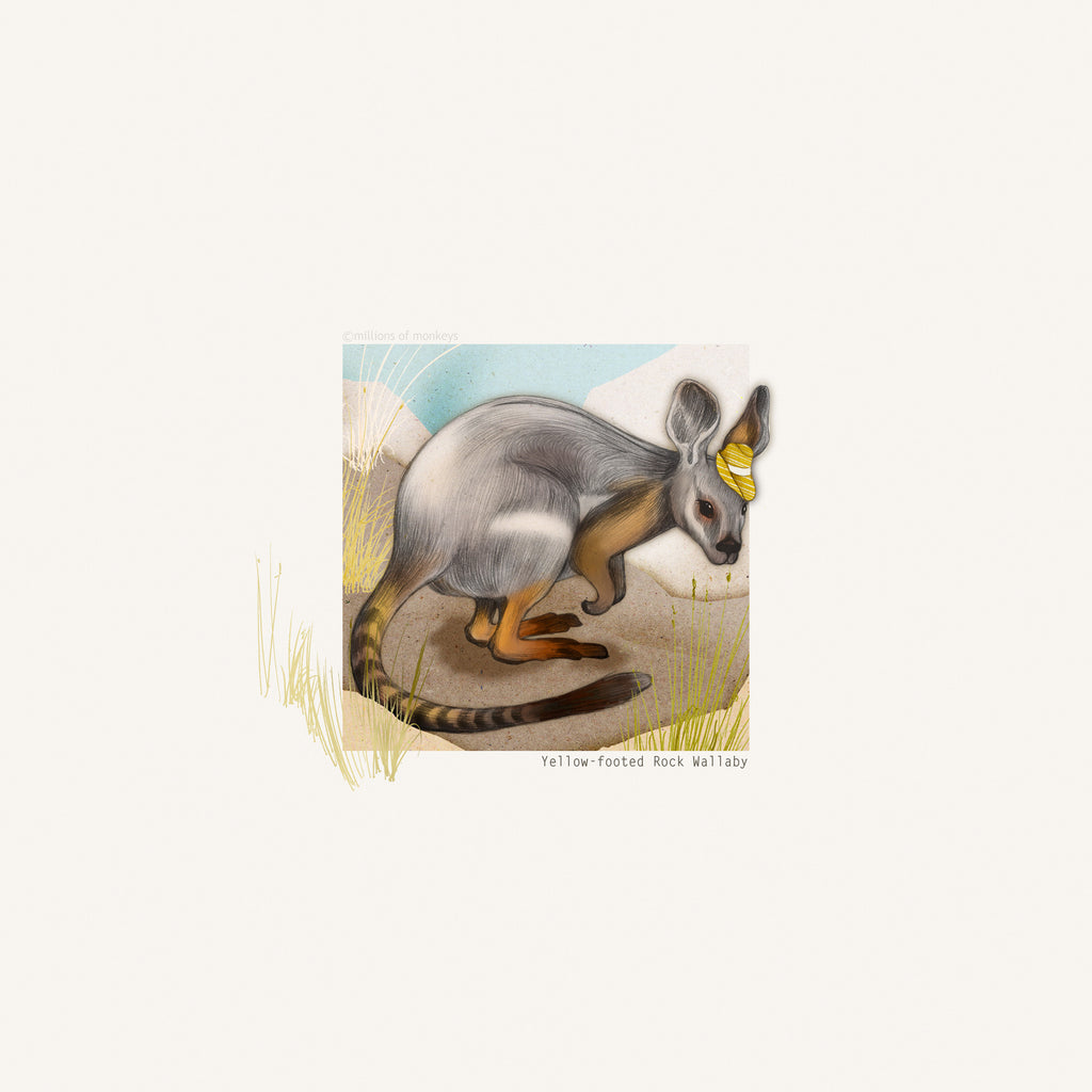 Art Print - Yellow-footed Rock Wallaby - 29.7cm x 29.7cm