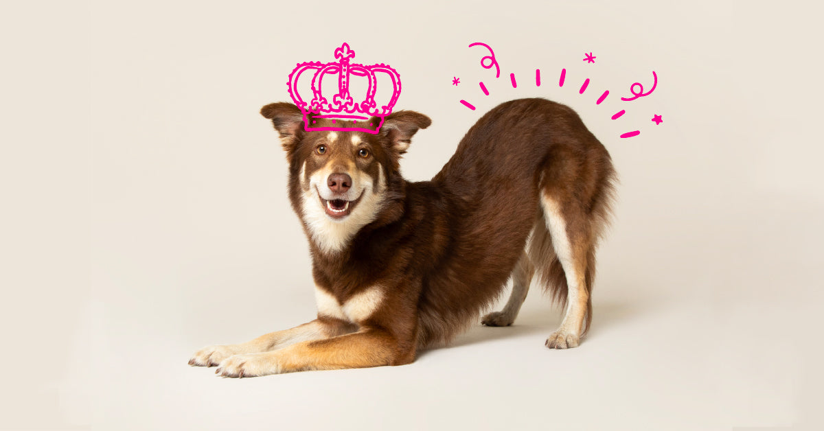 Dog trick: teaching your dog to take a bow