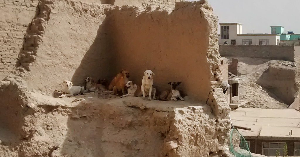A pack of dogs in Kabul, Afghanistan