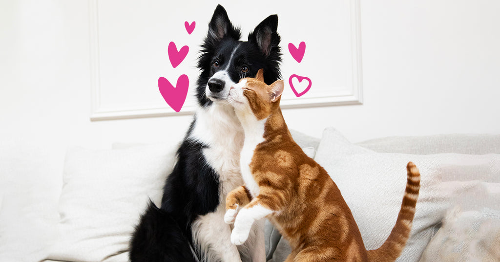 cat rubbing her face against the border collie