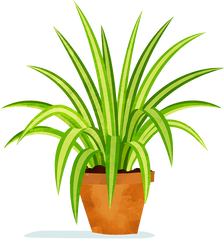 Illustration of spider plant.