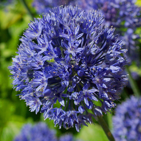Allium Caeruleum (azureum) | Allium Bulbs - the planted garden