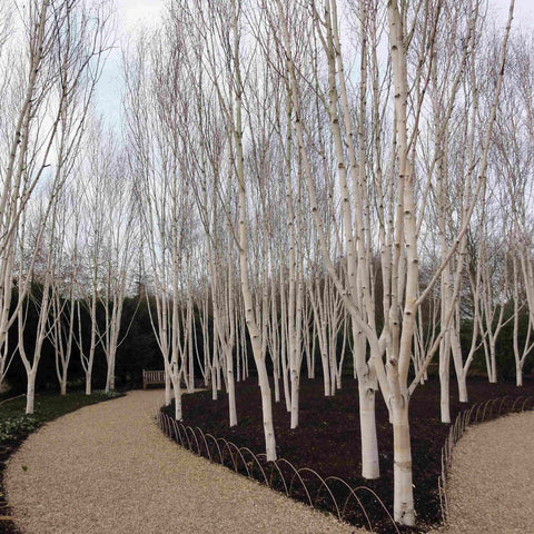 Betula Utilis Jacquemontii Himalayan Birch Tree - the planted garden - 1