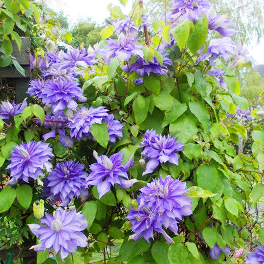 Clematis Denny's Double - the planted garden