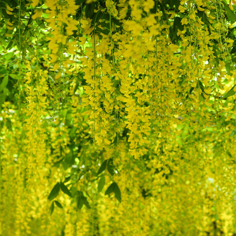 Laburnum x Watereri Vossii Golden Rain Tree - the planted garden - 1