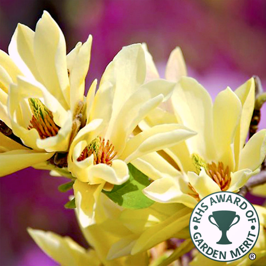 Magnolia Gold Star - the planted garden