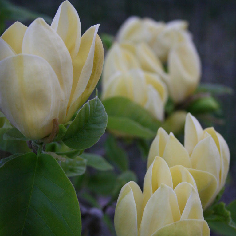 Magnolia Limelight - the planted garden - 1