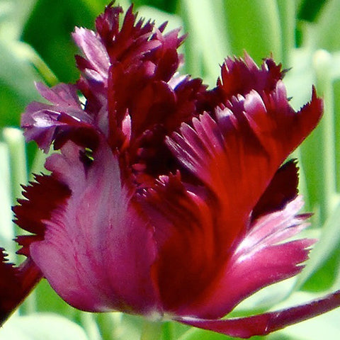 Tulip Black Parrot | Tulip Bulbs - the planted garden - 1