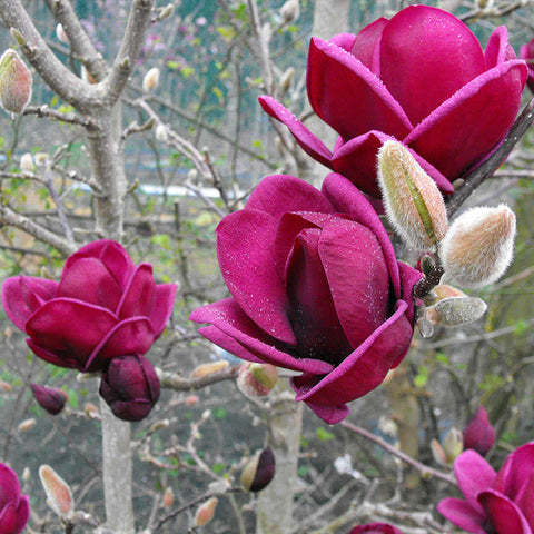 Magnolia Genie - the planted garden
