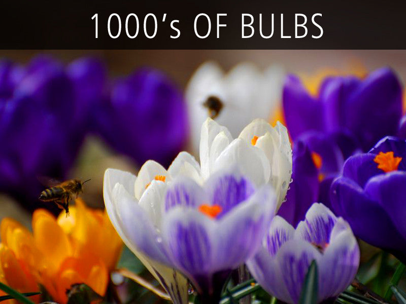 TULIP BULBS, CROCUS BULBS, ALLIUM BULBS, NARCISSUS BULBS and much more