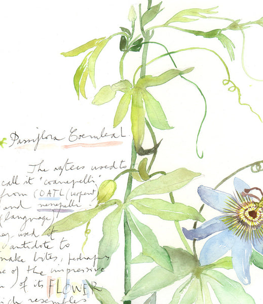 Passion flower - Plants and medicinal herb series #3