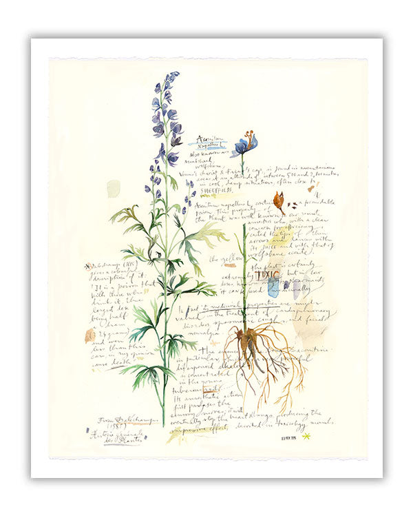Aconite - Plants and medicinal herb series #2