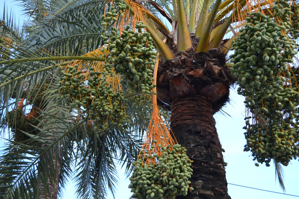 10 important facts regarding the date palm fruit industry in Saudi Arabia